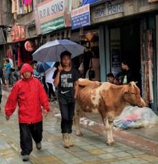 Sacred Cow on Kathmandu street-5-28-2016